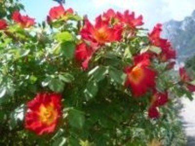 una pianta  di oleandri di color rosa
