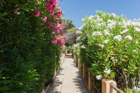 una lunga camminata con delle piante di oleandri sui lati