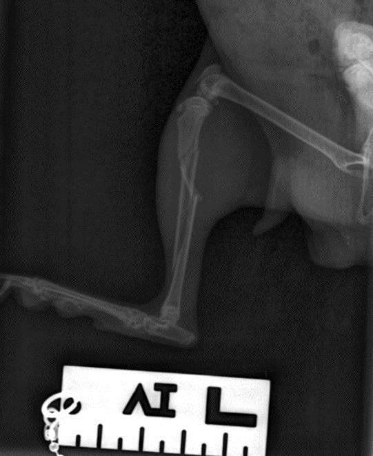 X-ray report for the injured dog