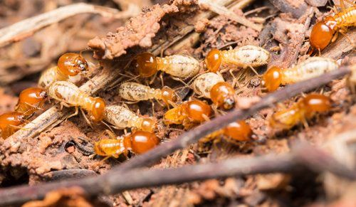 Termite Treatment Abilene, TX