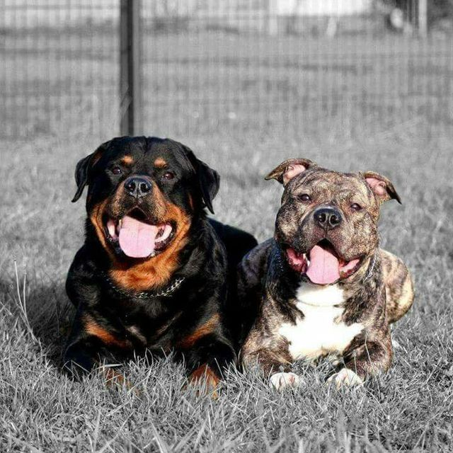Adopt A Dog For The Love Of Dog Rottweiler Pitbull Rescue Of Nh