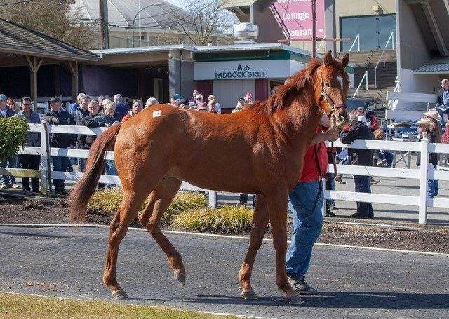 Bc Bred Tops First Cths Horses Of Racing Age Sale