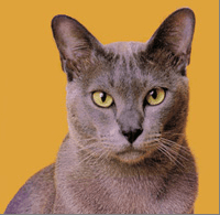 Burmese cats for sale in Shepperton