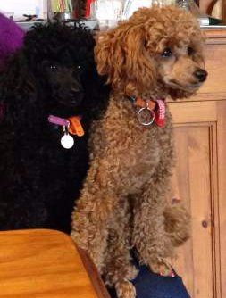 Two Poodles side by side