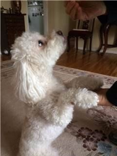 Poodle standing on hind legs