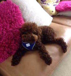 Cute red Poodle on sofa