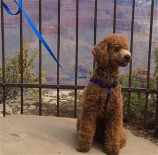 Poodle at Grand Canyon
