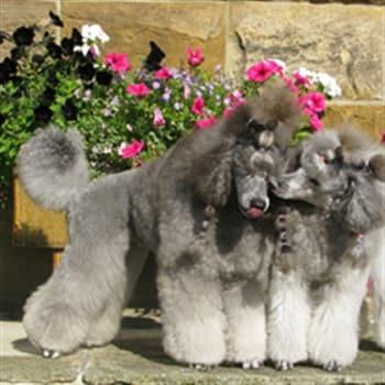 beautiful Poodles