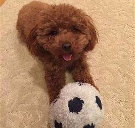 solid red toy Poodle