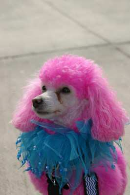 pink painted Poodle dog
