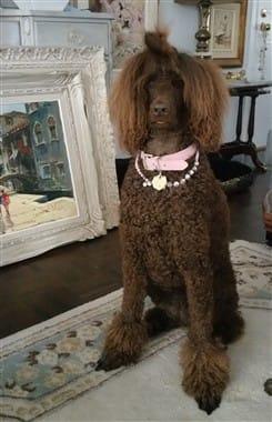 brown Poodle, female