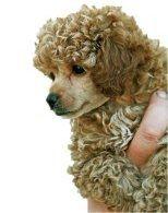 Cafe au lait colored Poodle