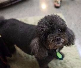 Toy Poodle black with brown markings