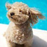 cream colored Poodle