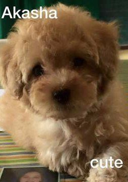 Cream colored Poodle puppy