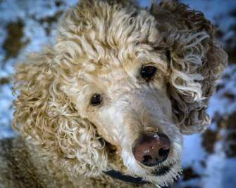 Poodle Smells and Odors