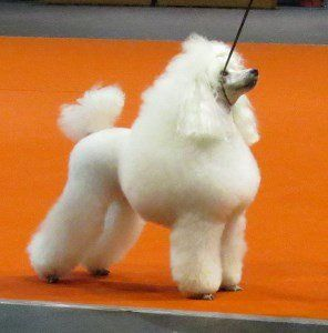 docked tail on Poodle