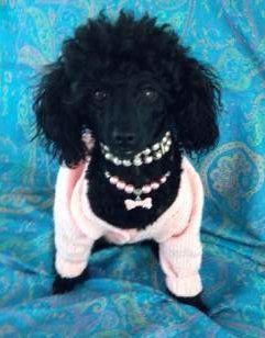 fancy Poodle