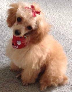 female Poodle dressed up
