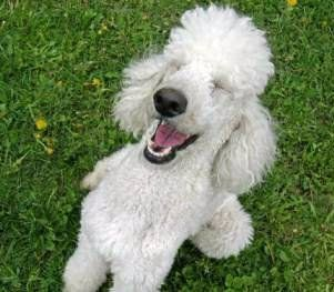 Poodle Temperament Poodle Information Center