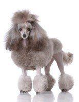 gray Poodle
