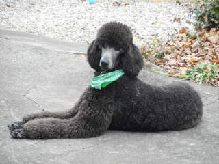grey black standard Poodle