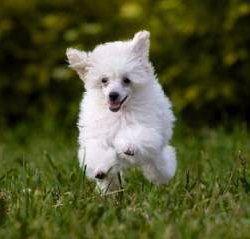 hyper Poodle