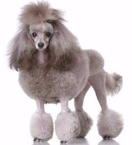 Miniature Poodles | The Poodle Information Center