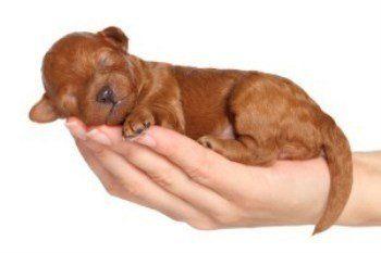 newborn Poodle