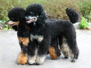 Phantom Poodle Colors Poodle Information Center