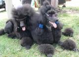 show Poodles