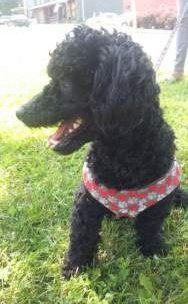 10 month old Poodle, solid black