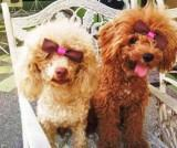 light apricot Poodle with red Poodle