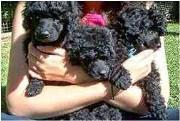 litter of black Poodle puppies