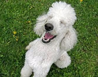 Poodle making funny face