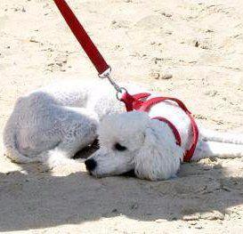 white Poodle on beach