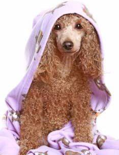 Poodle with towel on him