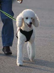 Poodle being walked on harness