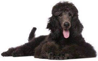 Poodle with black hair