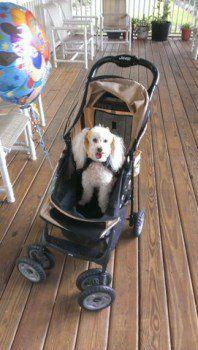 Poodle in stroller
