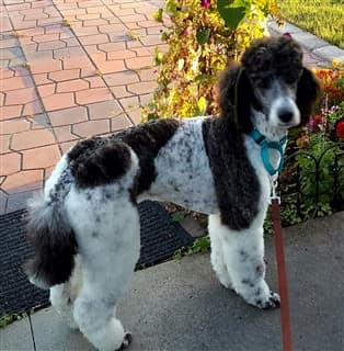 Poodle outside, brindle coat