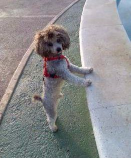 Poodle outside with harness on