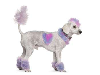 purple and pink painted Poodle