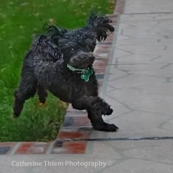solid black Toy Poodle