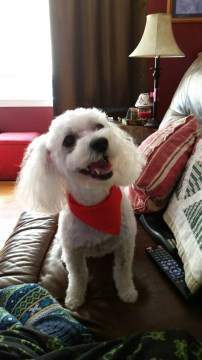 Poodle with big smile