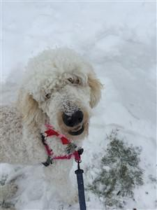 funny Poodle