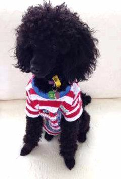 Poodle wearing warm shirt