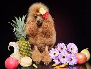 Poodle with food