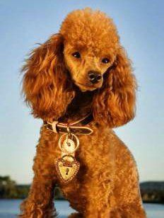 Red Poodles History Color Changes And Breeding
