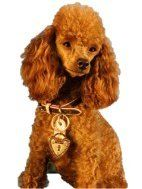 red colored Poodle